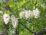 black locust makes white honey