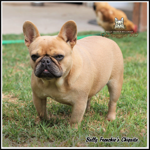 bully frenchies chiquita