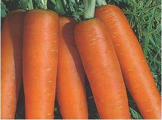 Carrot Nantes Seeds - Royal Seed - 10g