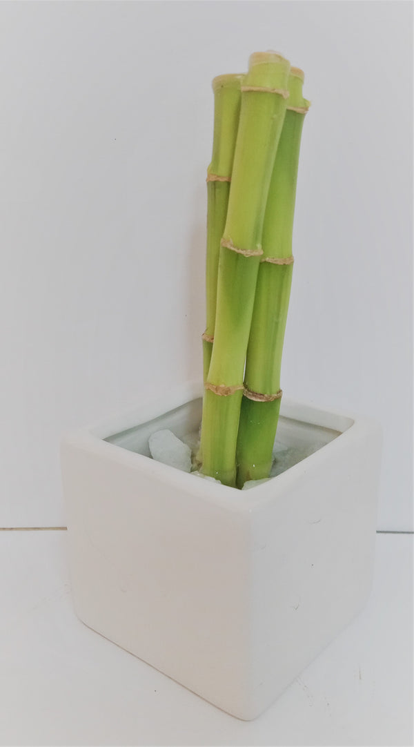 LUCKY BAMBOO (3 STALKS IN CERAMIC POT)
