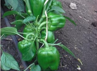 Sweet Pepper Maxibell Seeds- Royal Seed - 10g
