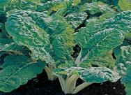 Swiss Chard Ford Hook Giant Seeds