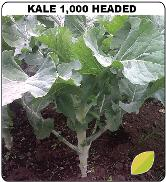 Kale Thousand Headed Seeds - Royal Seed - 10g