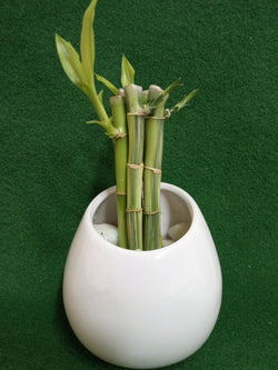 LUCKY BAMBOO (5 STALKS IN CERAMIC POT)