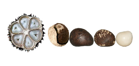 Tagua Nut from nut to bead