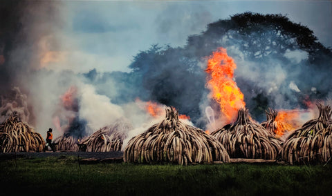Illegal Elephant tusks being burnt