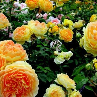 How Well Do You Know Roses!!!