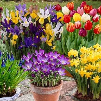 Grow blooming bulbs in pots and containers