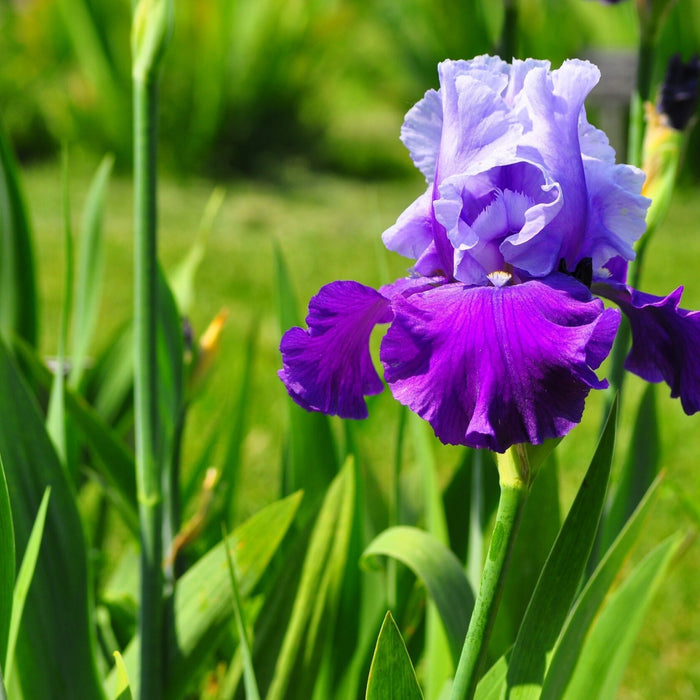 All about historic Iris flowers!