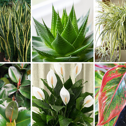Do you know plants that give oxygen 24 hours ?