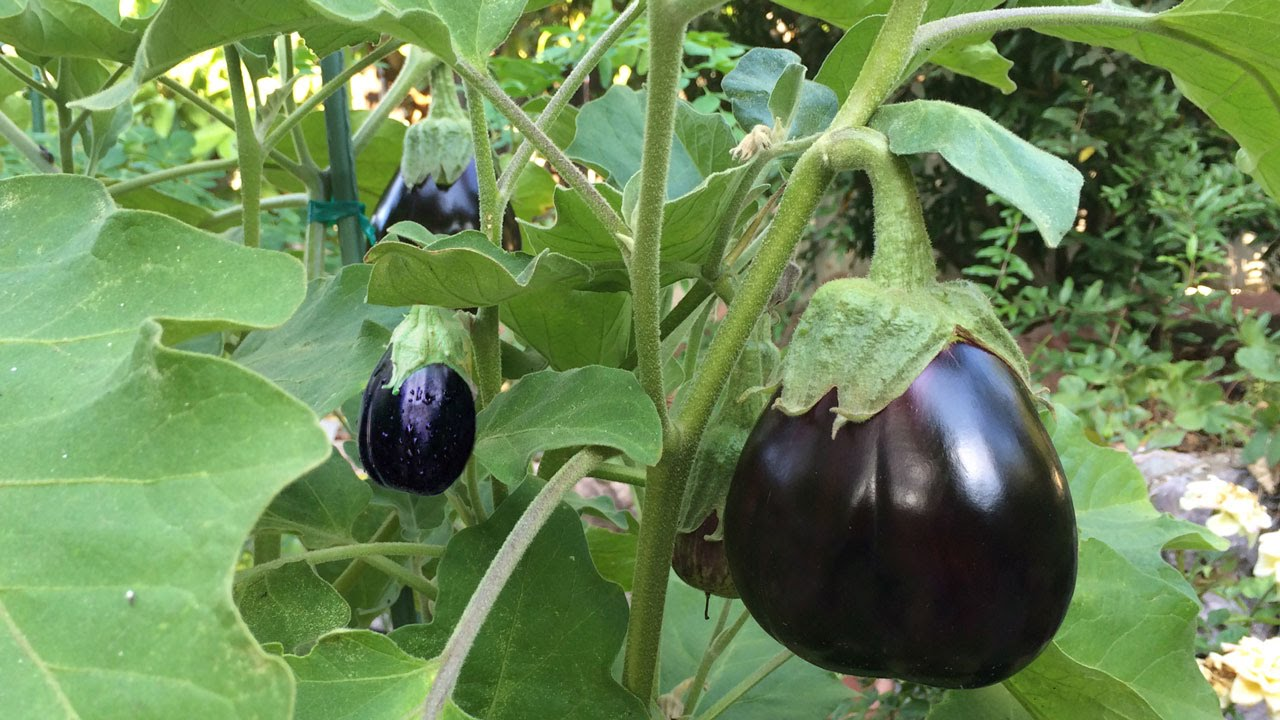 Grow organic brinjals in home garden! - Nurserylive