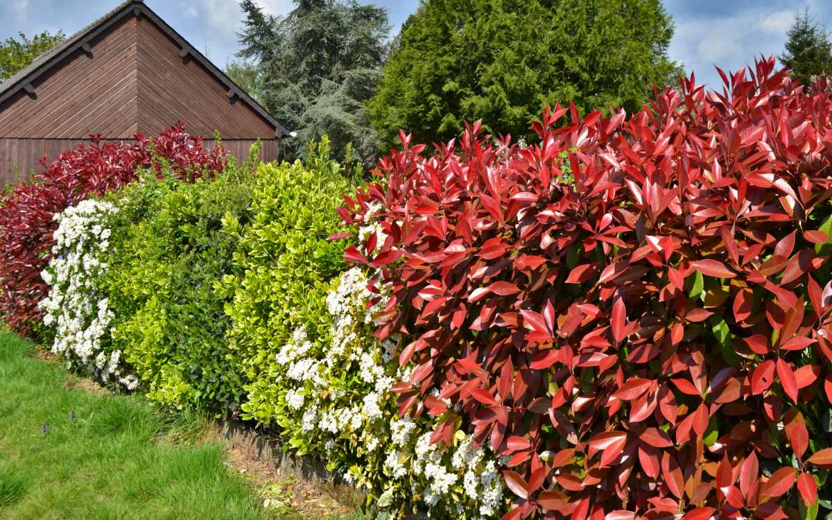 Top 10 Hedge Plants For your Garden