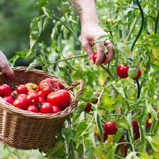 Grow fresh tomatoes from seeds at home - Nurserylive