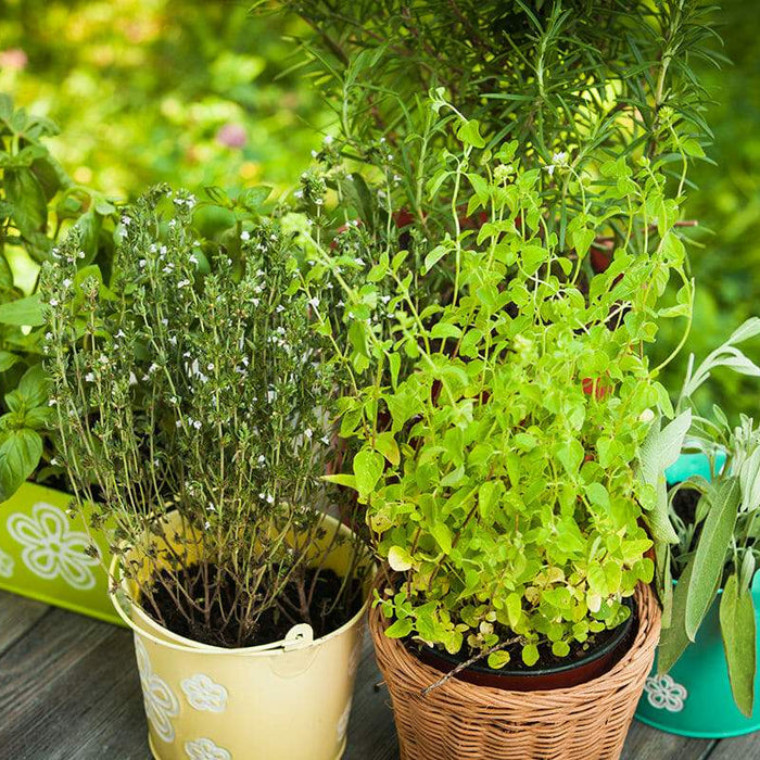 32 Medicinal Plants to keep at your Home Always - Nurserylive