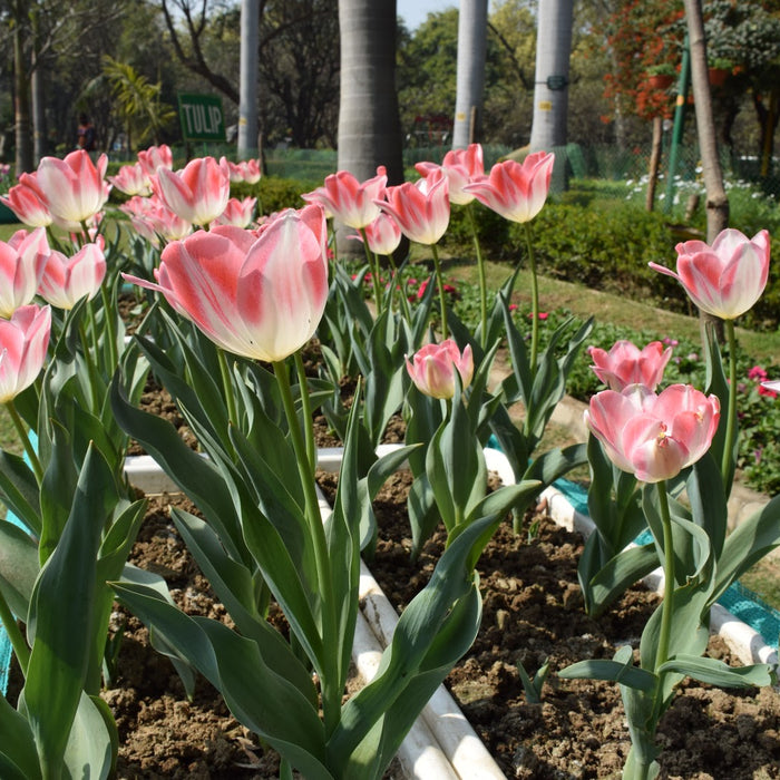 Tulips are easy to grow -Let's find out how