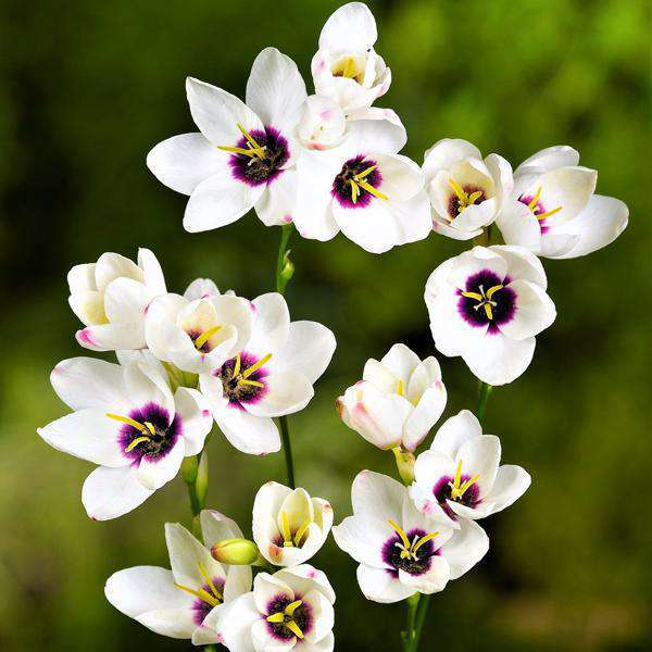 Ixia Flower Bulbs
