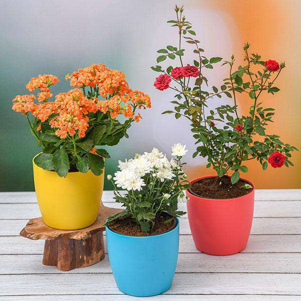 Plants Packs For Festivals and Occasions