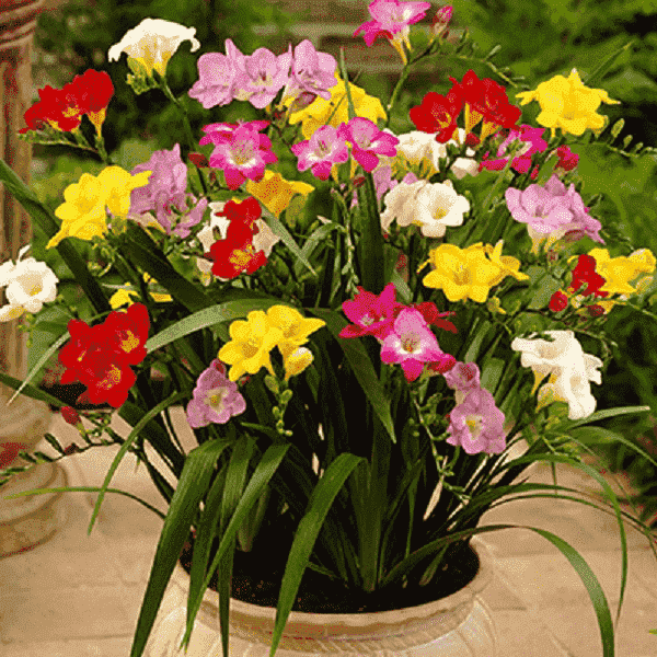 Freesia Flower Bulbs