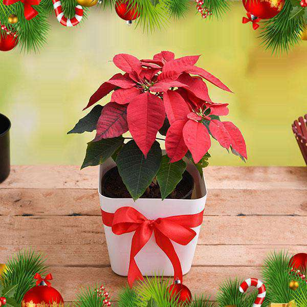 New Year and Christmas Plant Gifts