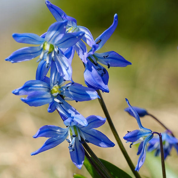 Blue Flower Bulbs