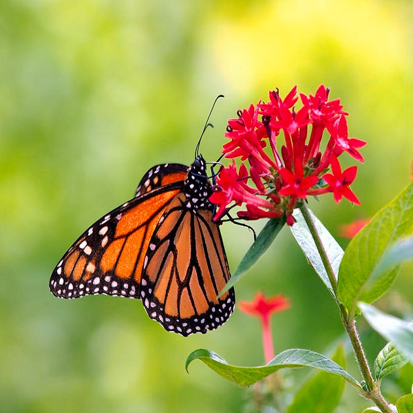 Butterflies Attracting Plant Seeds