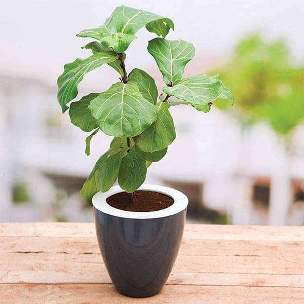 Fiddle Leaf Fig Plants
