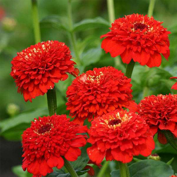 Red Flower Seeds