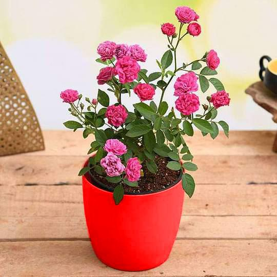 Admire True Love with Miniature Pink Rose - Gift Plant