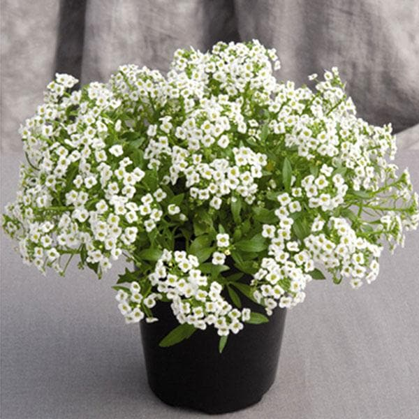 Alyssum (Any Color) - Plant