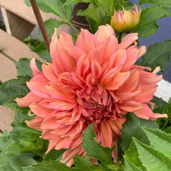 Big Dahlia (Any Color) - Plant