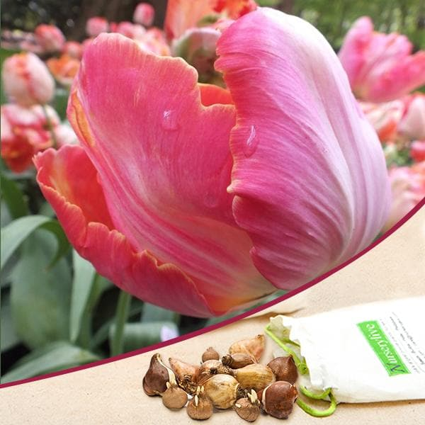 Tulip Salmon Parrot (Pink) - Bulbs (set of 5) - Nurserylive