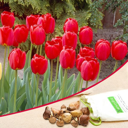 Tulip Stem Tent (Red) - Bulbs (set of 5) - Nurserylive
