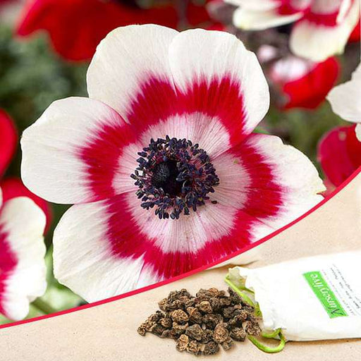 Anemone Bicolor (White, Red) - Bulbs (set of 5) - Nurserylive