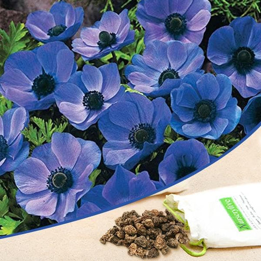 Anemone (Blue) - Bulbs (set of 5) - Nurserylive