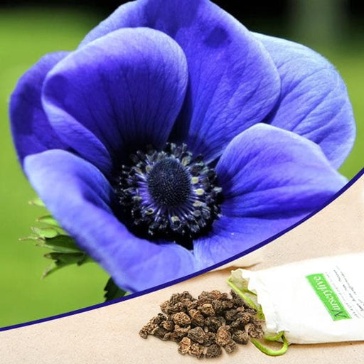 Anemone (Dark Blue Crown) - Bulbs (set of 5) - Nurserylive