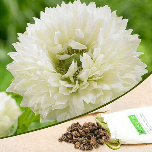 Anemone Mount Everest (White) - Bulbs (set of 5) - Nurserylive