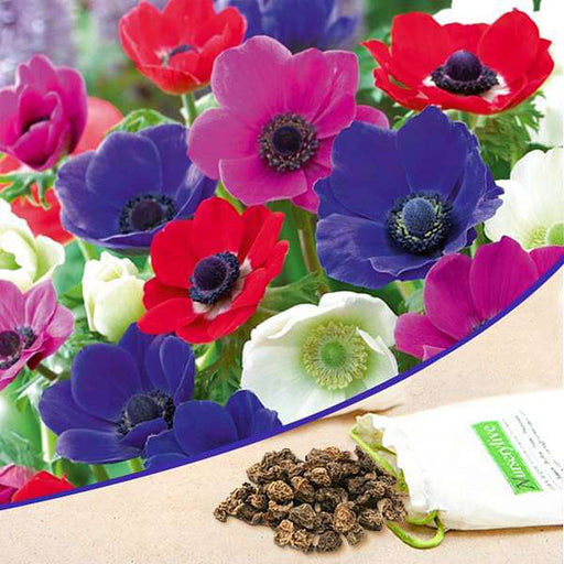 Anemone (Random Color) - Bulbs (set of 5) - Nurserylive