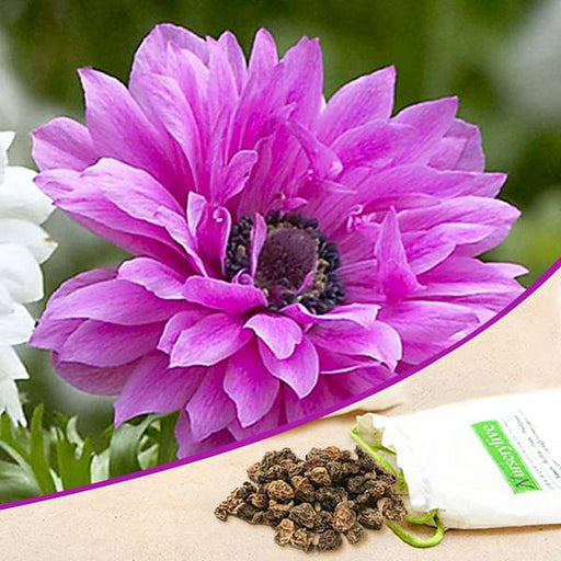 Anemone The Admiral (Pink) - Bulbs (set of 5) - Nurserylive