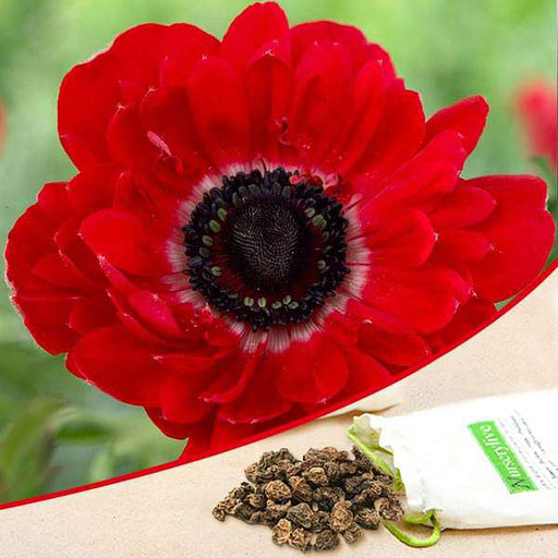 Anemone The Governor (Red) - Bulbs (set of 5) - Nurserylive