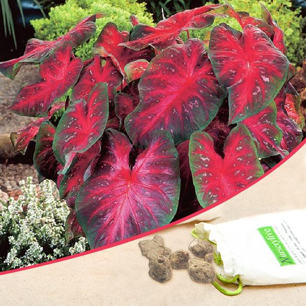 Caladium (Red, Wine Color, Green) - Bulbs (set of 5)