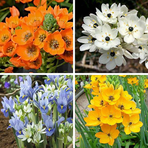 Chincherinchee Praxis (Random Color) - Bulbs (set of 5) - Nurserylive