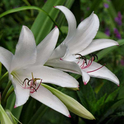 Crinum Amoenum (White) - Bulbs (set of 5) - Nurserylive