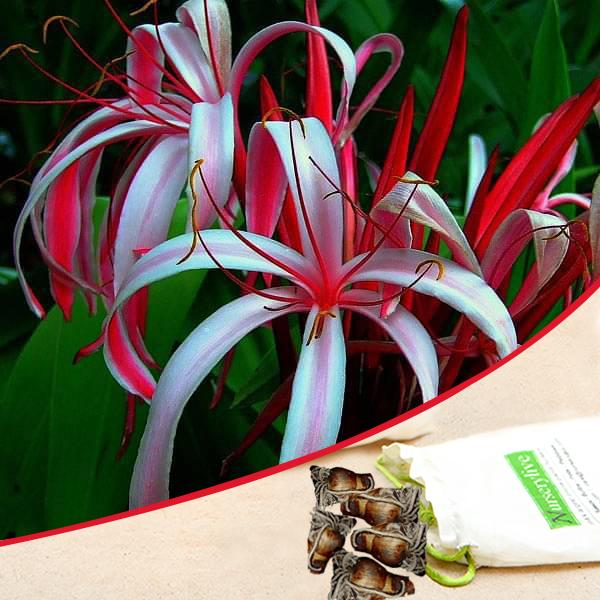 Buy Crinum Lily (Red) - Bulbs (set of 5) online from Nurserylive at lowest  price.