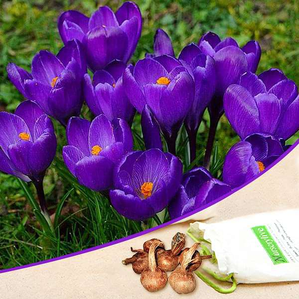 Crocus Flower Record (Purple) - Bulbs (set of 5) - Nurserylive