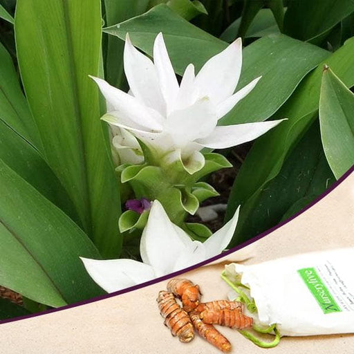 Curcuma (White) - Bulbs (set of 5) - Nurserylive