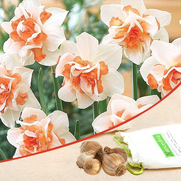 Daffodil Replete (White, Orange) - Bulbs (set of 5)