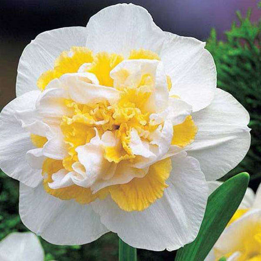 Daffodil White Lion (White, Yellow) - Bulbs (set of 5) - Nurserylive