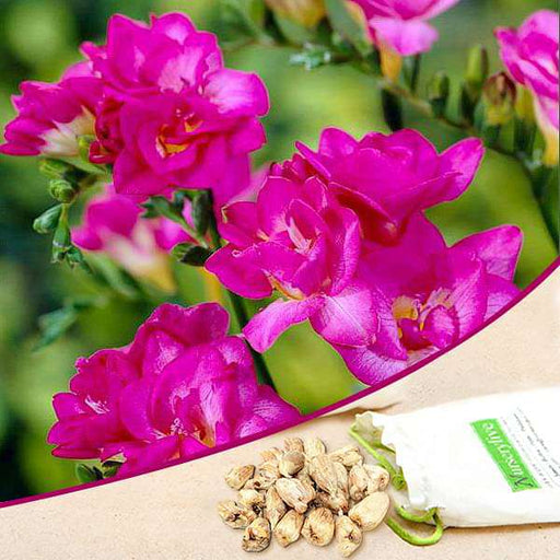 Freesia Double (Pink) - Bulbs (set of 5) - Nurserylive