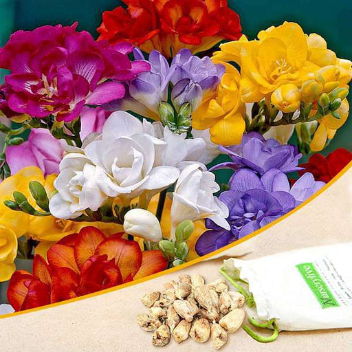 Freesia Double (Random Color) - Bulbs (set of 5) - Nurserylive