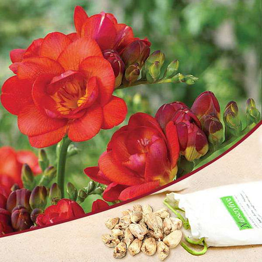 Freesia Double (Red) - Bulbs (set of 5) - Nurserylive